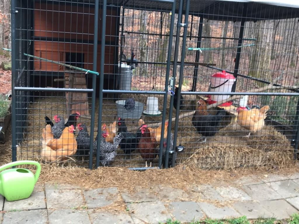 chickens-F